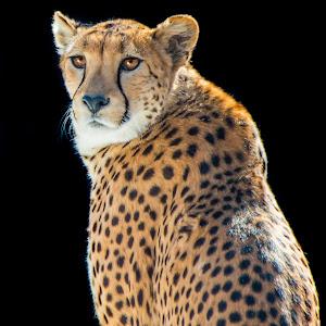 Sue Matsunaga Cheetah Stare.jpg