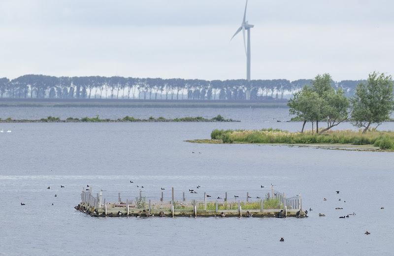 Eerste broedsucces visdieven op kunstmatig broedeiland Philipsdam