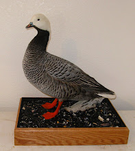 Photo: Emperor Goose with full Full case habitat