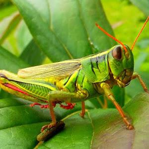 grasshopper Aug 8 3013110.jpg