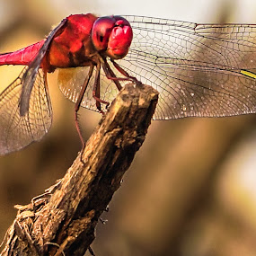 Red Dragonfly by M Thantowi - Animals Insects & Spiders (  )