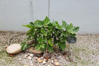 Photo: Her en lille figen fra urtehaven