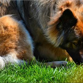 german shepherd by Nic Scott - Animals - Dogs Portraits ( german shepherd, dog )