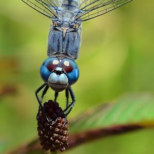 blue_dragonfly_2.jpg
