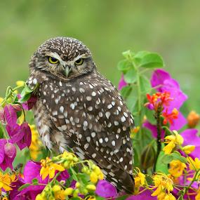Burrowing owl! by Itamar Campos - Animals Birds ( owl, beach, coruja, burrowing, floers )