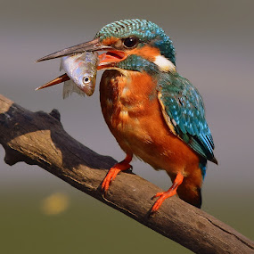 Common Kingfisher by Ashay Kakde - Animals Birds ( nature, common kingfisher, birds, hunting, branch, kingfisher, wildlife )