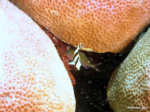 Photo: Banded Butterflyfish, juvenile