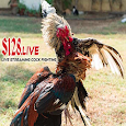 Live Streaming Cock Fighting