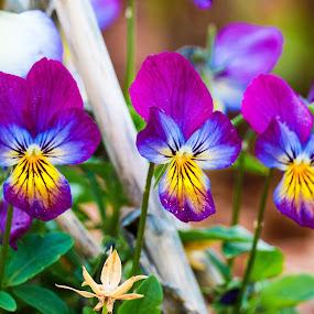 Purple Pansies by Chad Roberts - Flowers Flower Gardens ( purple, petals, blue, pansy, pansies, pretty, flower,  )