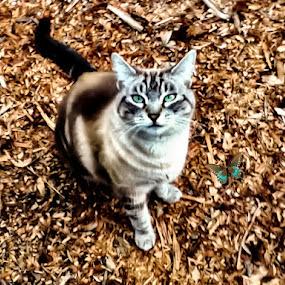 beauty by Serenity Deliz - Animals - Cats Portraits ( cat, siamese, kitty, pretty, eyes )