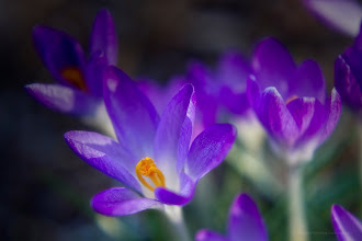 Photo: The Spring Crocus - Lehman, Pennsylvania - Sunday, March 18th, 2012