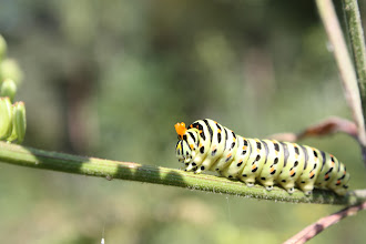 Photo: Papilio machaon