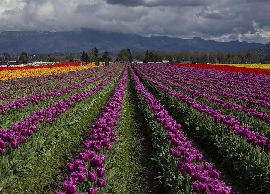 Purple Rows by Gabriel Gutierrez - Flowers Flower Gardens ( purple, tulips, travel, skagitvalley, tulipfestival2015, rows )