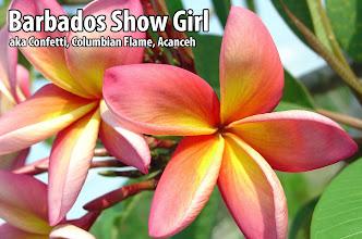 Photo: Barbados Show Girl