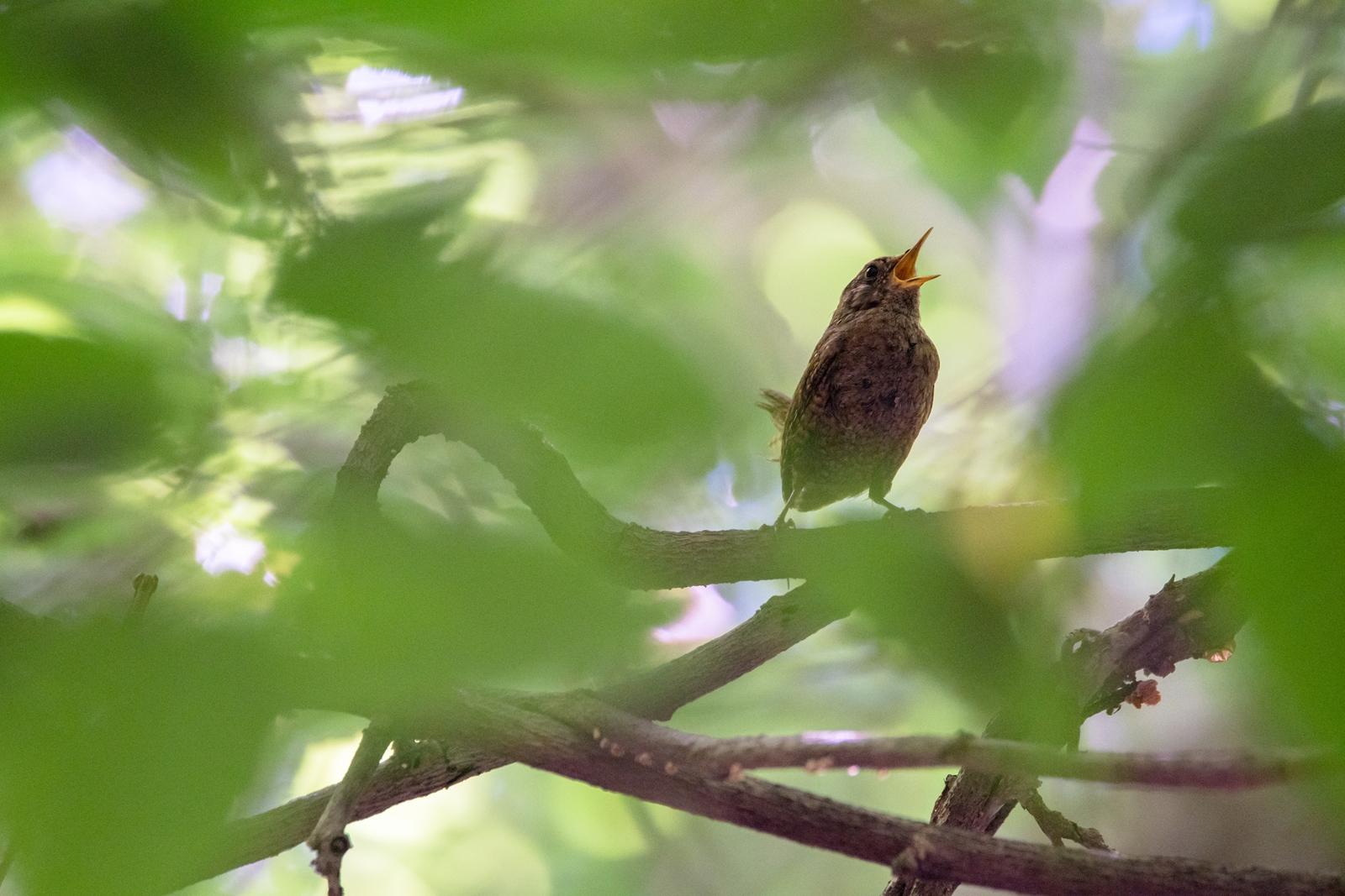 Photo: 「真っ直ぐな歌」 / Pure song.  森の奥の茂みの中から 綺麗な歌が響き渡る 小さな体を震わせて 真っ直ぐな想い 僕はここにいるよ  Eurasian Wren. (ミソサザイ)  Nikon D500 SIGMA 150-600mm F5-6.3 DG OS HSM Contemporary  #birdphotography #birds #kawaii #ことり #小鳥 #nikon #sigma  ( http://takafumiooshio.com/archives/2765 )