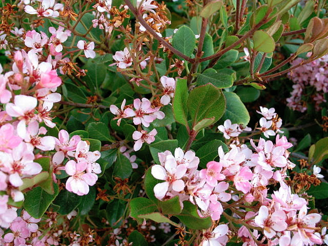 Indian Hawthorne Bush Closeup