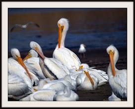 Photo: White Pelicans, West end of Limantour Spit, Pt. Reyes, CA