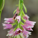 Pink Nodding Orchid