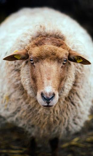 オランダの羊 lwp