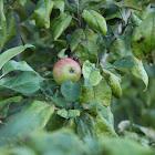 Immature Honeycrisp Apple