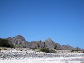 Photo: Osprey atop a cardon cactus. We saw quite a few osprey.