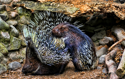 http://www.pixoto.com/images-photography/animals/other-mammals/mating-porcupines-102362383.jpg