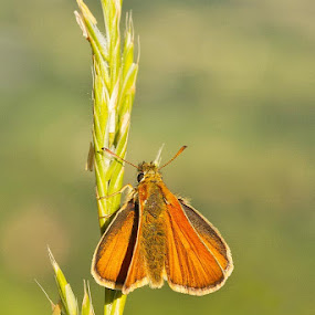 Small Skipper by Louise Morris - Animals Insects & Spiders ( july 2013, gloucestershire, small skipper )