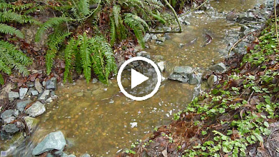 Video: Coho spawning in Oswald Creek