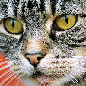 by Frank Gray - Animals - Cats Portraits