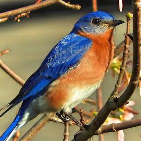 Male Eastern Bluebird by Bill Martin - Animals Birds ( bird, bluebird, macro, nature, blue, rust,  )