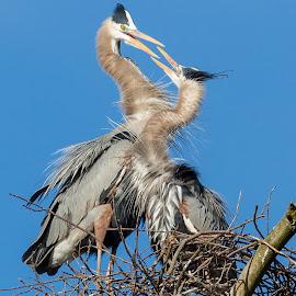 Great Blue Heron by Carl Albro - Animals Birds ( bird, great blue heron, nest, mating )