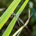 Damselfly, Willow Emerald