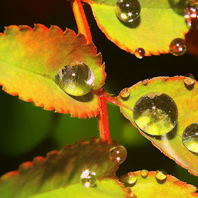 rose leaves by Capucino Julio - Nature Up Close Leaves & Grasses ( rose, shining, rusty, leaves, droplets )