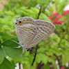White-spotted Hairstreak Butterfly