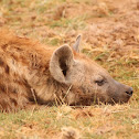 Spotted hyena, laughing hyena