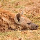 Spotted hyena, laughing hyena
