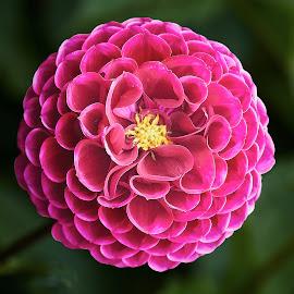 Dahlia 8712 by Raphael RaCcoon - Flowers Single Flower
