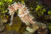 Photo: Hippocampe à Komodo by P. Lobel