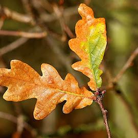 Autumn Oak Leaves by Chrissie Barrow - Nature Up Close Leaves & Grasses ( orange, nature, autumn, green, oak, leaves, bokeh, closeup )