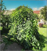 """Photo: Cires pendul (Prunus Avium """"Pendula"""") - din Piata 1 Decembrie 1918, spatiu verde - 2017.06.10"""