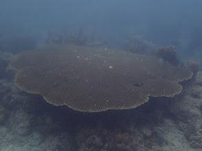 Photo: Acropora Tabletop Coral, Miniloc Island Resort reef, Palawan, Philippines.
