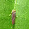 Red-banded Leafhopper