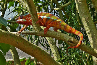 Photo: Chamäleon 8: Bei dieser farbenprächtigen Art handelt es sich um das Panther-Chamäleon.
