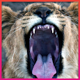 Lion HD Wallpaper icon