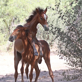 Can We Play? by Deb Bulger - Animals Horses ( animals, equine, nature, horses, horsing around, wildlife, horses at play, salt river wild horses, wild horses,  )