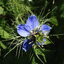 Love-in-a-mist, Ragged Lady