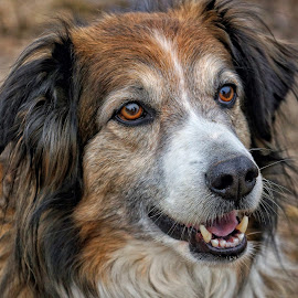 English Shepherd Head Portrait - 6088 by Twin Wranglers Baker - Animals - Dogs Portraits