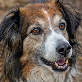 English Shepherd Head Portrait - 6088 by Twin Wranglers Baker - Animals - Dogs Portraits (  )