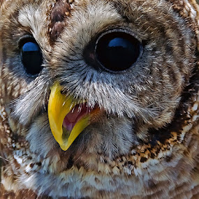 Keen Eyes by Shelly Wetzel - Animals Birds ( bird, owl )