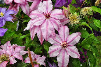 Photo: Clematis 'John Warren' closeup
